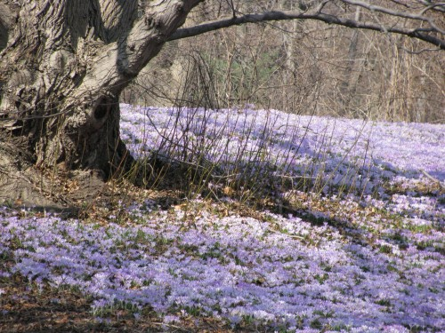 A carpet of lavender crocus.
