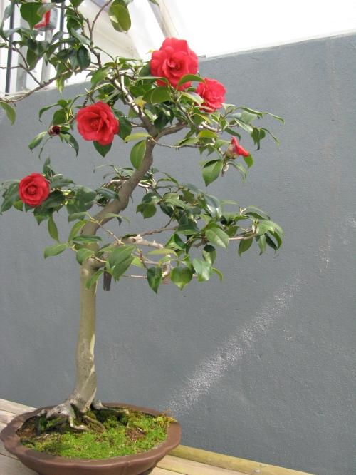 "Bonsai: Camelia japonica ""Julia Drayton"""