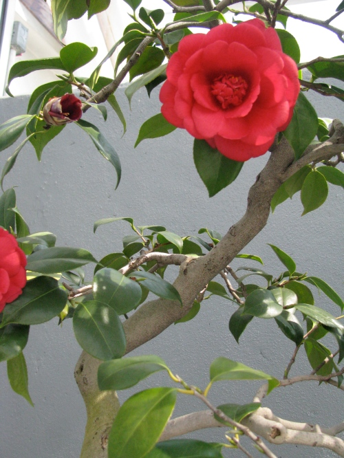 Close-up of Camelia japonica bonsai