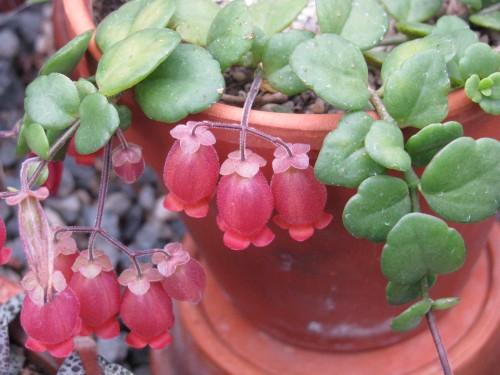 Kalanchoe caniflora