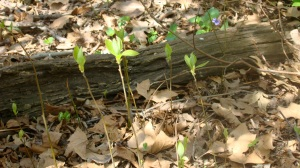"Sassafras seedlings.  ""They'll only be mowed down if you don't harvest them,"" says Steve."