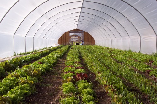 "Randy's ""tunnel"" of lettuces; photo courtesy of mesa farm market."