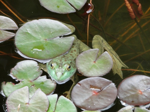 This frog lives in a lovely lotus pond at a garden center in Litchfield, CT.  Photo copyright Lorna Sass, 2009